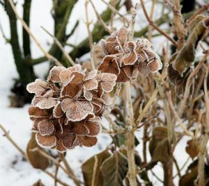 Blütenstand mit Raureif