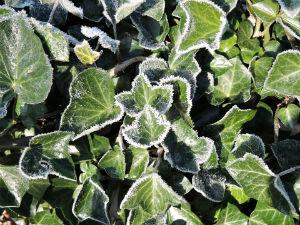 Efeu bei Frost