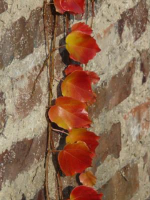 Weinranke mit Herbstfärbung