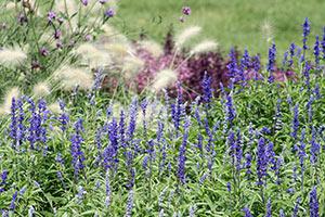 Beetgestaltung mit Lavendel