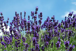 Lavendel | Von Gärtner Pötschke Positive Wirkung Lavendel Pflege