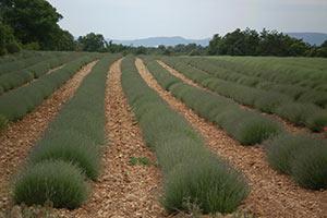 Lavendel auf trockenem, steinigen Boden