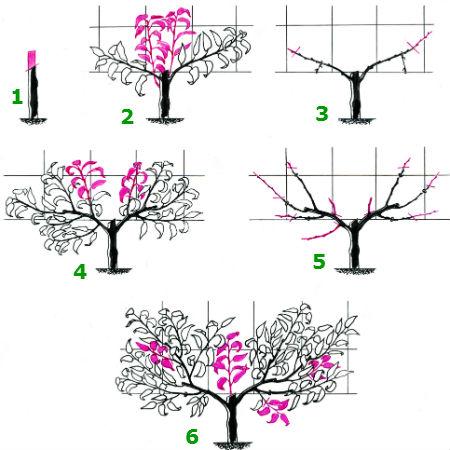 Schnittskizzen Aprikosenbäume