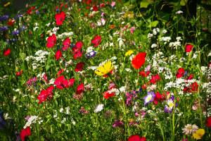 blütenreiche Wildwiese
