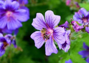 Biene auf Storchschnabelblüte