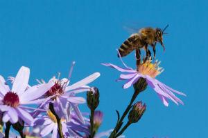 Biene bei der Bestäubung