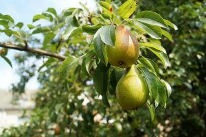 Birnen an einem Birnenbaum