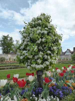 blühender Birnenbaum in einem Tulpenbeet