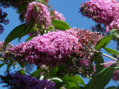 Sommer-Flieder in voller Blüte
