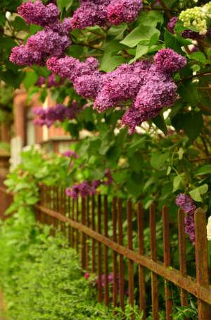 Gemeiner Flieder hinter einem rostigen Zaun