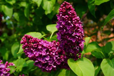 Violette Blüten des gemeinen Flieder