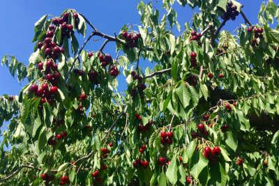 Kirschbaum mit reifen Kirschen