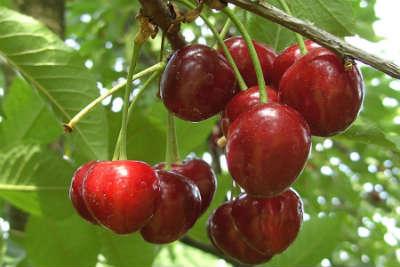 Reife, rote Kirschen am Baum
