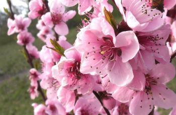Blüten von Nektarinenbäumen