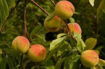 Reife Pfirsiche an Pfirsichbäumen