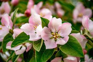 Blüten von Quittenbäumen