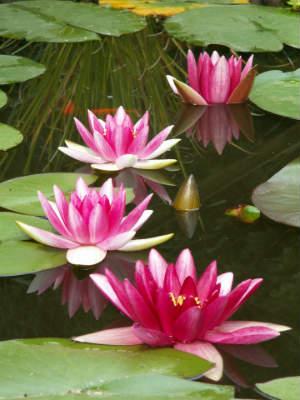 Seerosen mit Blüten