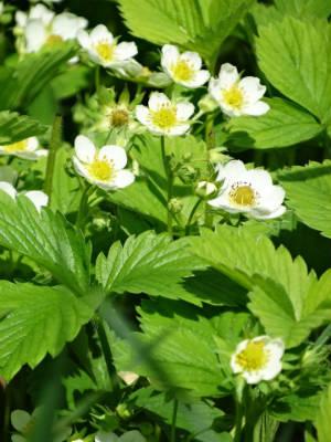 Erdbeerpflanzen mit Blüte