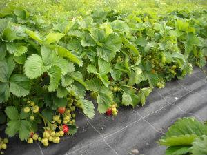 Erdbeerpflanzen in Reihen
